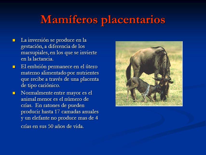 Mamíferos placentarios La inversión se produce en la gestación, a diferencia de los marsupiales, en los que se invierte en la lactancia. La inversión