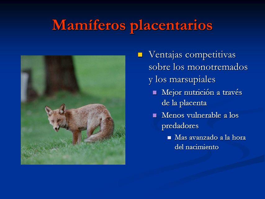 Mamíferos placentarios Ventajas competitivas sobre los monotremados y los marsupiales Mejor nutrición a través de la placenta Menos vulnerable a los p