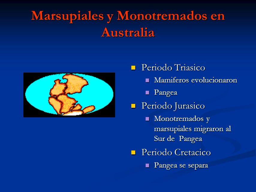 Marsupiales y Monotremados en Australia Periodo Triasico Mamiferos evolucionaron Pangea Periodo Jurasico Monotremados y marsupiales migraron al Sur de