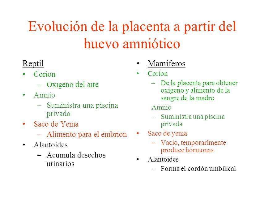 Evolución de la placenta a partir del huevo amniótico Reptil Corion –Oxigeno del aire Amnio –Suministra una piscina privada Saco de Yema –Alimento par