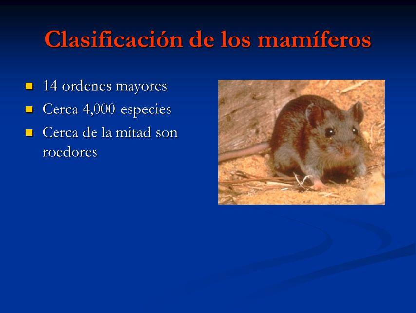 Clasificación de los mamíferos 14 ordenes mayores 14 ordenes mayores Cerca 4,000 especies Cerca 4,000 especies Cerca de la mitad son roedores Cerca de