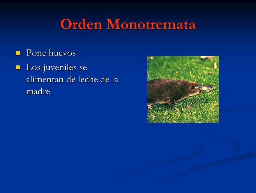 Orden Monotremata Pone huevos Pone huevos Los juveniles se alimentan de leche de la madre Los juveniles se alimentan de leche de la madre