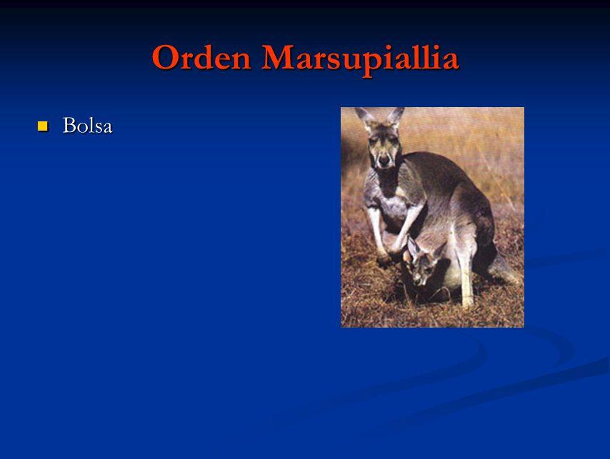 Orden Marsupiallia Bolsa Bolsa