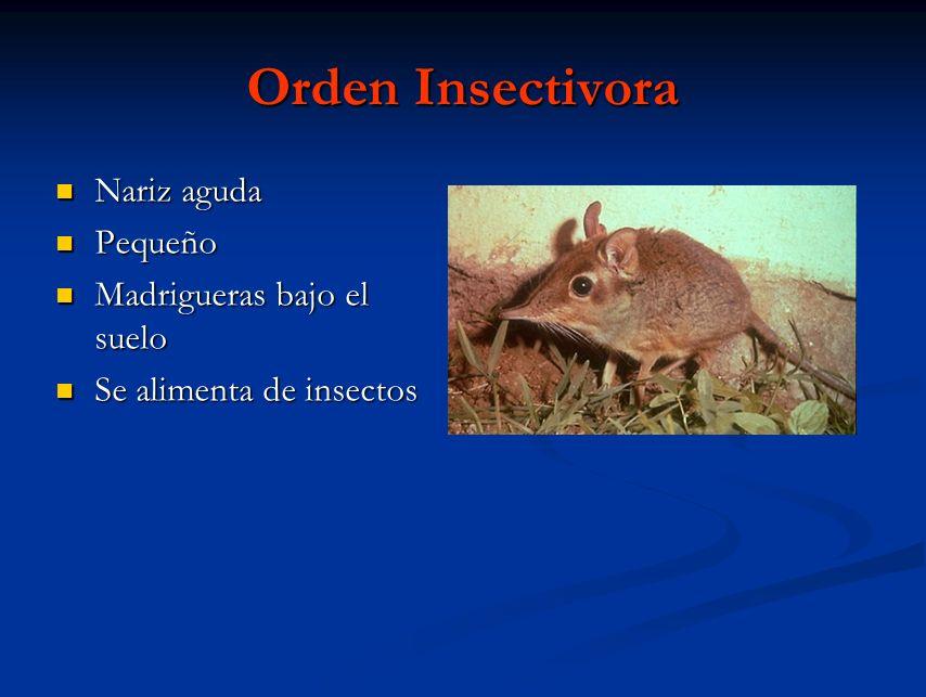 Orden Insectivora Nariz aguda Nariz aguda Pequeño Pequeño Madrigueras bajo el suelo Madrigueras bajo el suelo Se alimenta de insectos Se alimenta de i