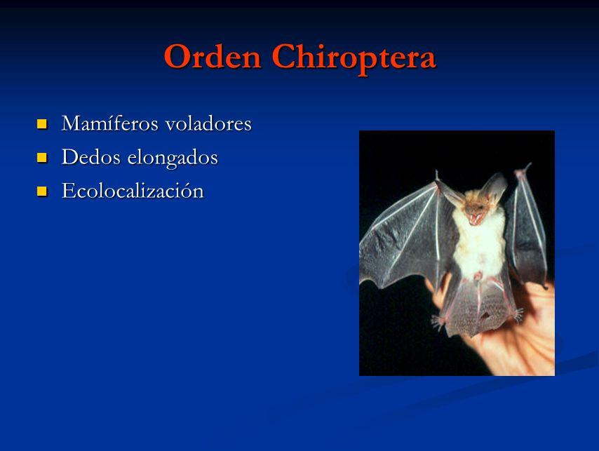 Orden Chiroptera Mamíferos voladores Mamíferos voladores Dedos elongados Dedos elongados Ecolocalización Ecolocalización
