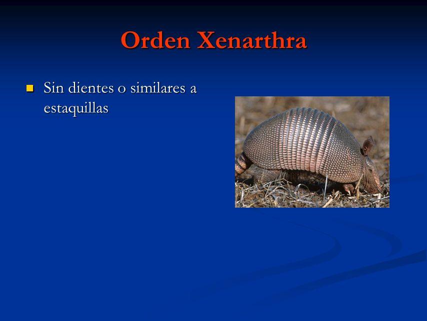 Orden Xenarthra Sin dientes o similares a estaquillas Sin dientes o similares a estaquillas