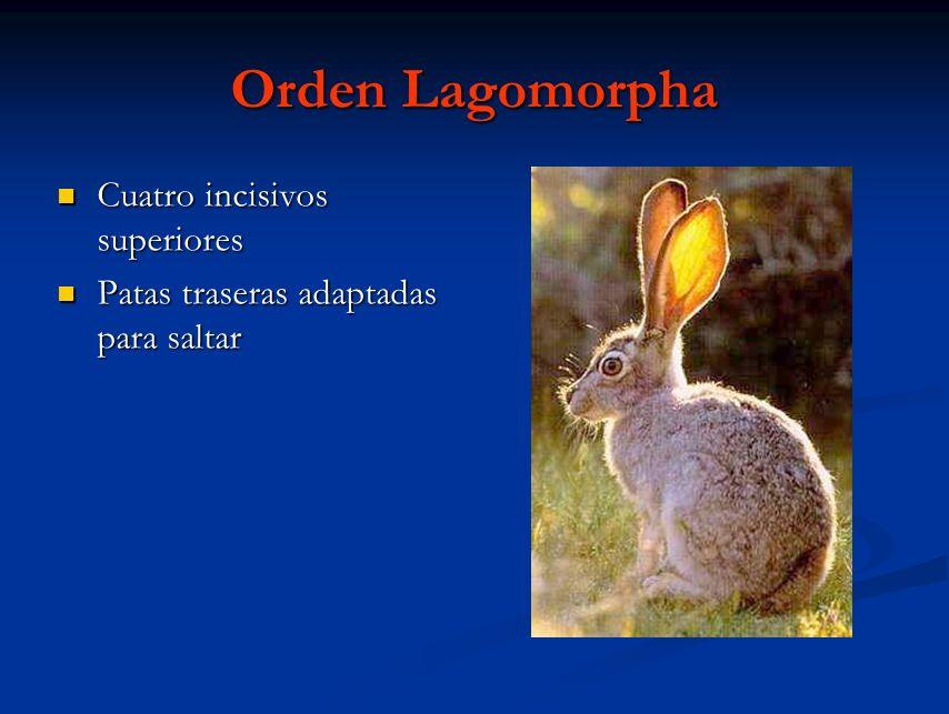 Orden Lagomorpha Cuatro incisivos superiores Cuatro incisivos superiores Patas traseras adaptadas para saltar Patas traseras adaptadas para saltar