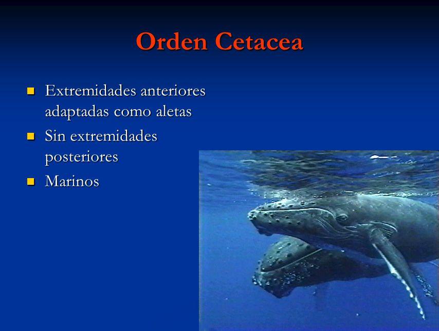 Orden Cetacea Extremidades anteriores adaptadas como aletas Extremidades anteriores adaptadas como aletas Sin extremidades posteriores Sin extremidade