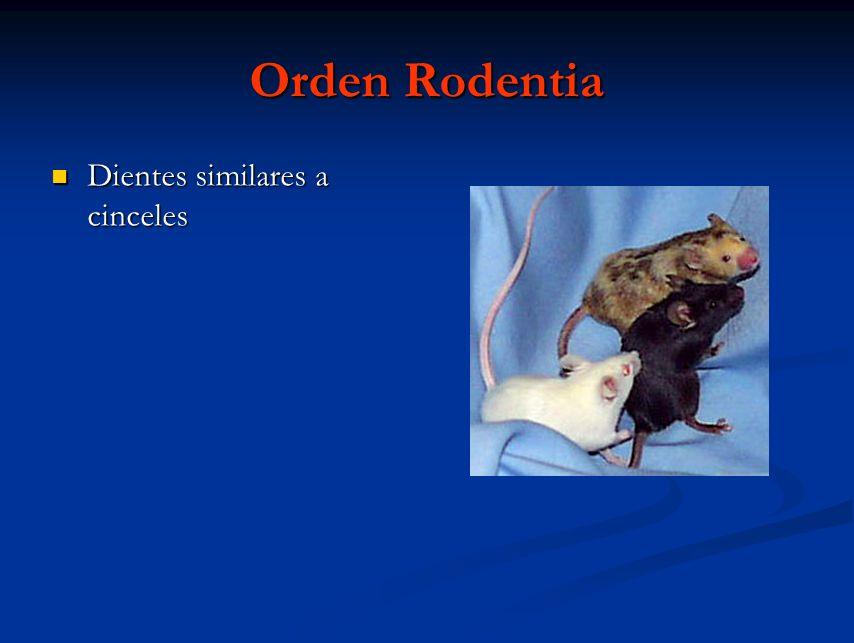 Orden Rodentia Dientes similares a cinceles Dientes similares a cinceles