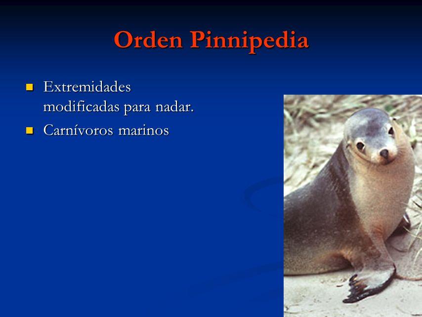 Orden Pinnipedia Extremidades modificadas para nadar. Extremidades modificadas para nadar. Carnívoros marinos Carnívoros marinos