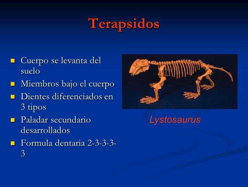 Terapsidos Cuerpo se levanta del suelo Cuerpo se levanta del suelo Miembros bajo el cuerpo Miembros bajo el cuerpo Dientes diferenciados en 3 tipos Di