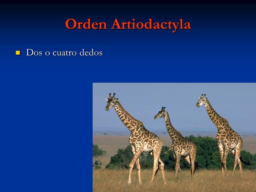 Orden Artiodactyla Dos o cuatro dedos Dos o cuatro dedos
