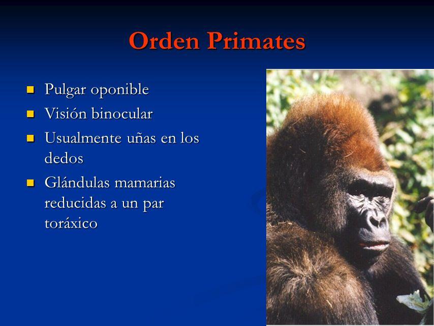 Orden Primates Pulgar oponible Pulgar oponible Visión binocular Visión binocular Usualmente uñas en los dedos Usualmente uñas en los dedos Glándulas m