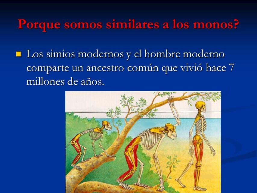 Porque somos similares a los monos? Los simios modernos y el hombre moderno comparte un ancestro común que vivió hace 7 millones de años. Los simios m
