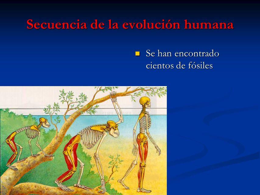 Secuencia de la evolución humana Se han encontrado cientos de fósiles
