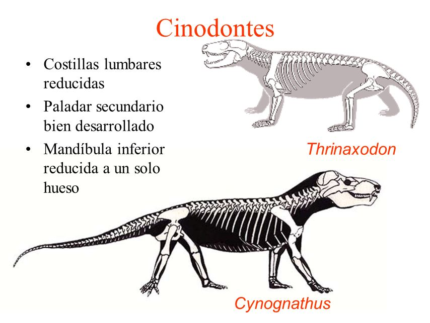 Cinodontes Costillas lumbares reducidas Paladar secundario bien desarrollado Mandíbula inferior reducida a un solo hueso Cynognathus Thrinaxodon