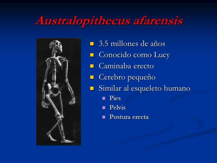Australopithecus afarensis 3.5 millones de años Conocido como Lucy Caminaba erecto Cerebro pequeño Similar al esqueleto humano Pies Pelvis Postura ere