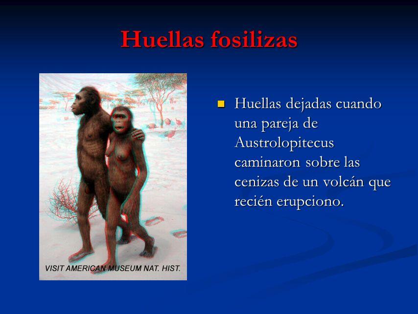 Huellas fosilizas Huellas dejadas cuando una pareja de Austrolopitecus caminaron sobre las cenizas de un volcán que recién erupciono.