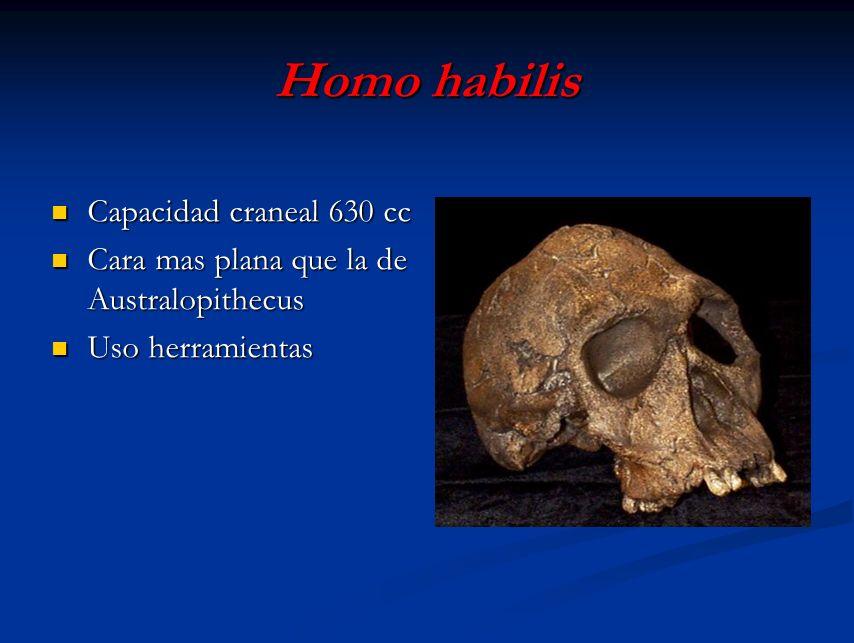 Homo habilis Capacidad craneal 630 cc Capacidad craneal 630 cc Cara mas plana que la de Australopithecus Cara mas plana que la de Australopithecus Uso