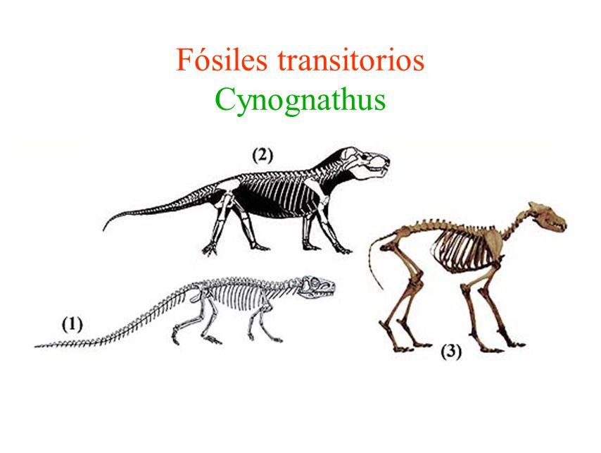 Sahelanthropus tchadensis 6 a 7 millones de años Cara plana similar a Homo Capacidad craneana similar a la de los chimpancés Caminaba erecto