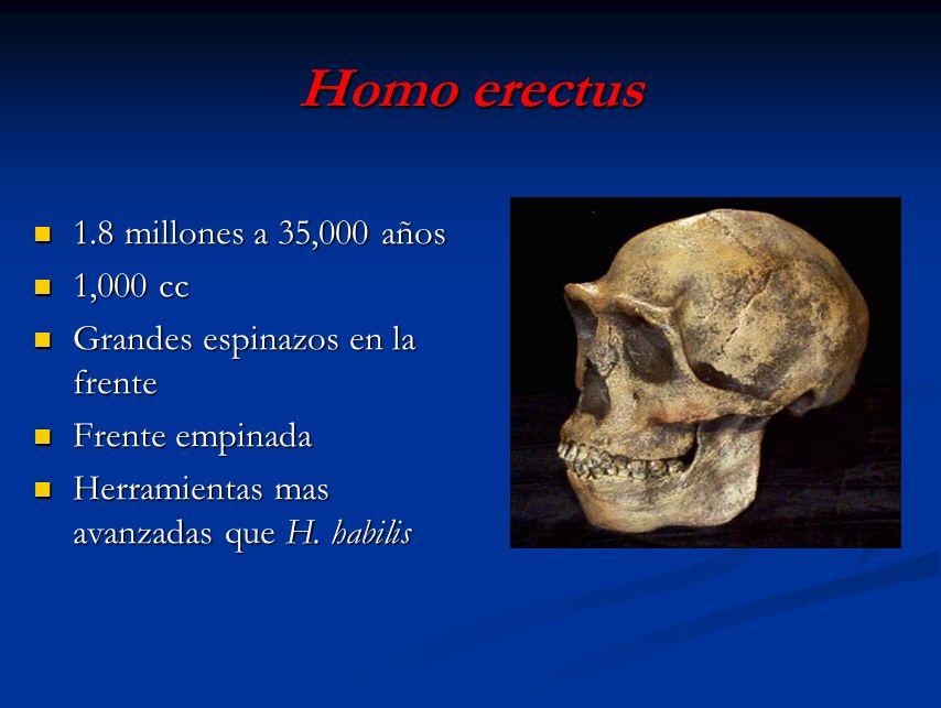 Homo erectus 1.8 millones a 35,000 años 1.8 millones a 35,000 años 1,000 cc 1,000 cc Grandes espinazos en la frente Grandes espinazos en la frente Fre