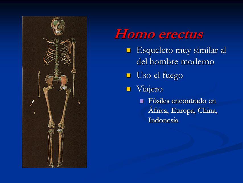 Homo erectus Esqueleto muy similar al del hombre moderno Uso el fuego Viajero Fósiles encontrado en África, Europa, China, Indonesia