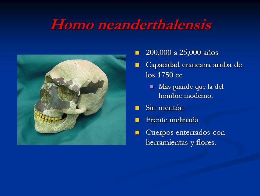 Homo neanderthalensis 200,000 a 25,000 años Capacidad craneana arriba de los 1750 cc Mas grande que la del hombre moderno. Sin mentón Frente inclinada