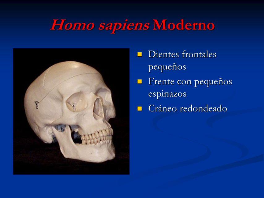 Homo sapiens Moderno Dientes frontales pequeños Frente con pequeños espinazos Cráneo redondeado