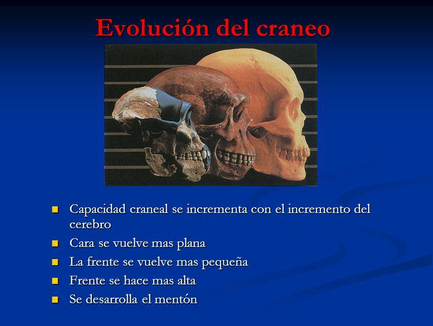 Evolución del craneo Capacidad craneal se incrementa con el incremento del cerebro Capacidad craneal se incrementa con el incremento del cerebro Cara
