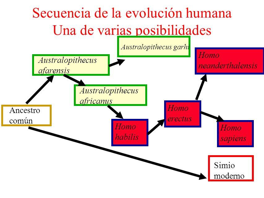 Secuencia de la evolución humana Una de varias posibilidades Ancestro común Homo sapiens Simio moderno Australopithecus afarensis Australopithecus afr