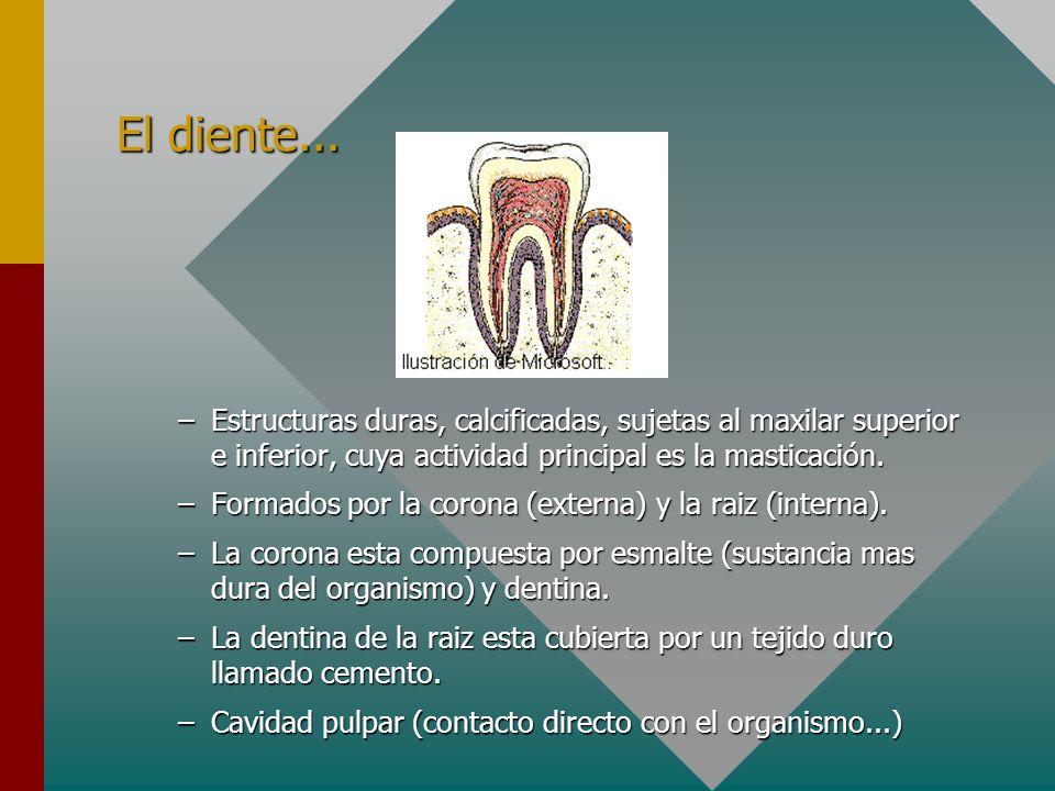 El diente... –Estructuras duras, calcificadas, sujetas al maxilar superior e inferior, cuya actividad principal es la masticación. –Formados por la co