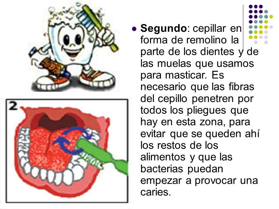 Segundo: cepillar en forma de remolino la parte de los dientes y de las muelas que usamos para masticar. Es necesario que las fibras del cepillo penet