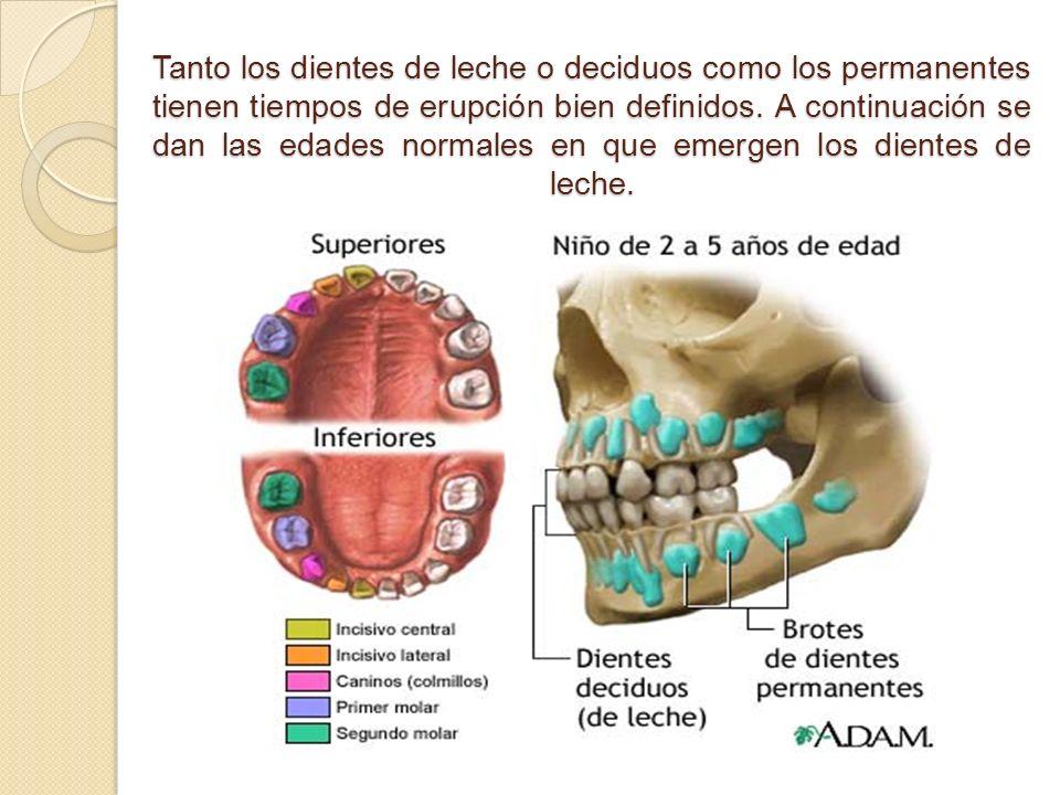 Tanto los dientes de leche o deciduos como los permanentes tienen tiempos de erupción bien definidos. A continuación se dan las edades normales en que