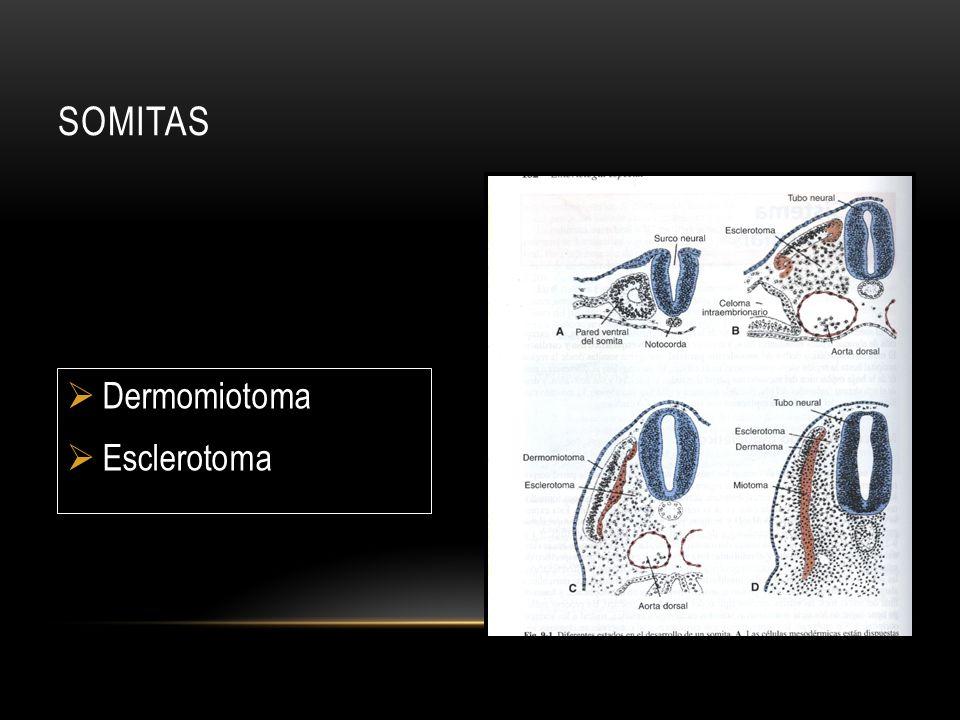 SOMITAS Dermomiotoma Esclerotoma