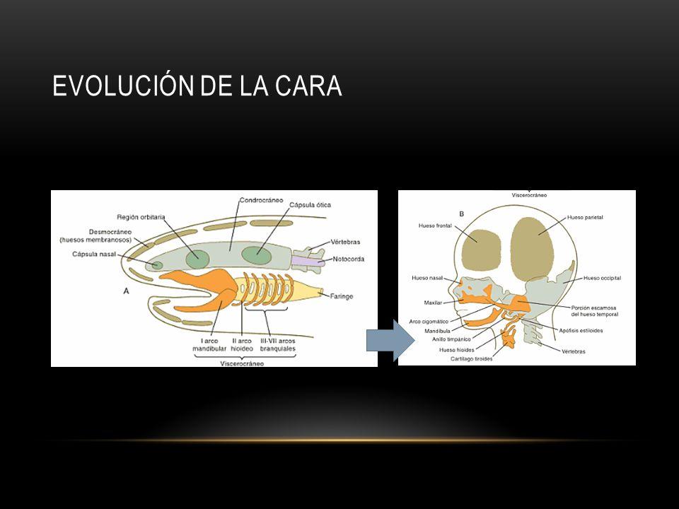 EVOLUCIÓN DE LA CARA
