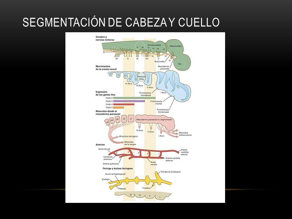 SEGMENTACIÓN DE CABEZA Y CUELLO