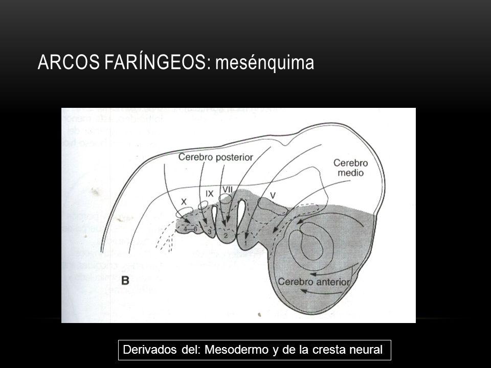 ARCOS FARÍNGEOS: mesénquima Derivados del: Mesodermo y de la cresta neural