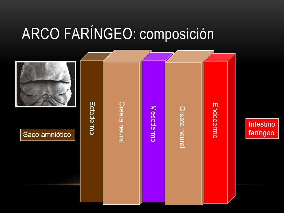 Ectodermo Cresta neural Mesodermo Endodermo Saco amniótico Intestino faríngeo ARCO FARÍNGEO: composición