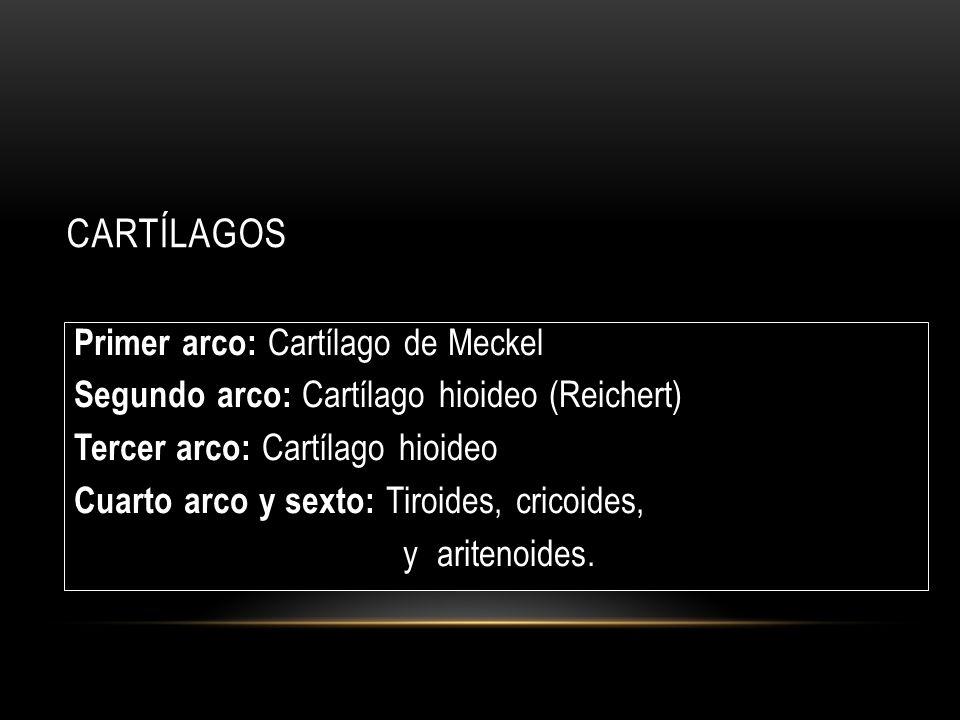 CARTÍLAGOS Primer arco: Cartílago de Meckel Segundo arco: Cartílago hioideo (Reichert) Tercer arco: Cartílago hioideo Cuarto arco y sexto: Tiroides, cricoides, y aritenoides.