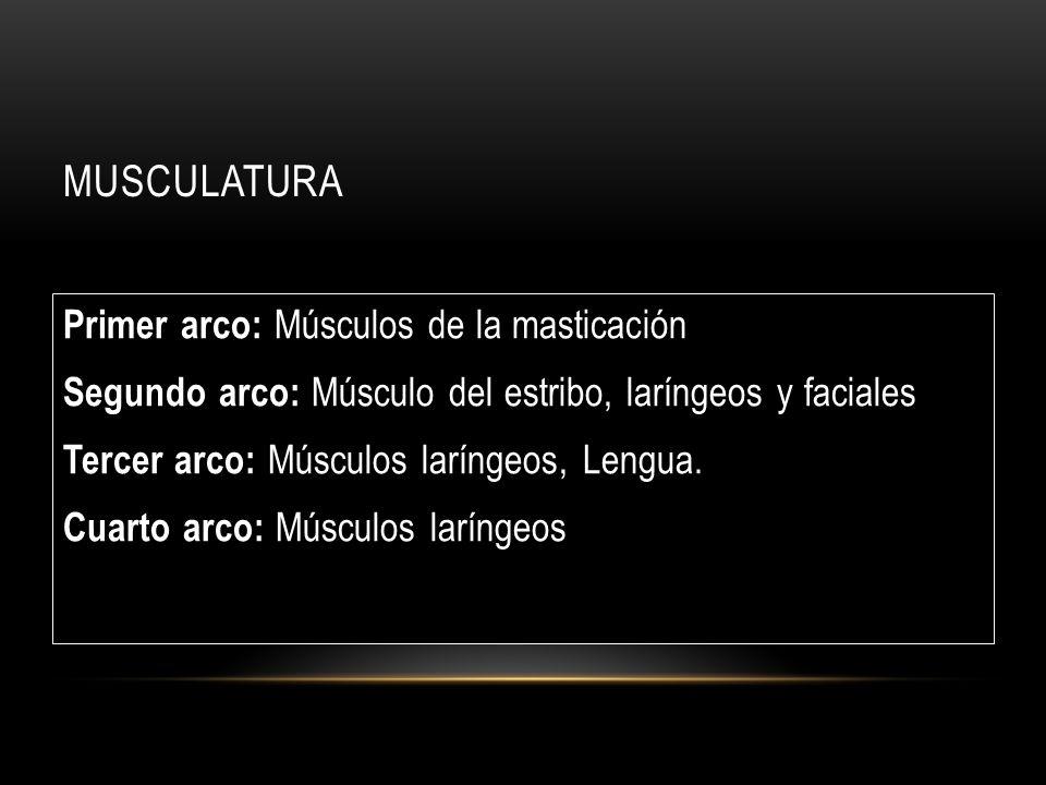 MUSCULATURA Primer arco: Músculos de la masticación Segundo arco: Músculo del estribo, laríngeos y faciales Tercer arco: Músculos laríngeos, Lengua.