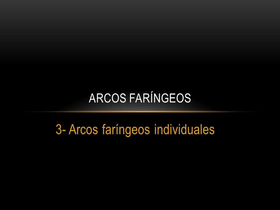 3- Arcos faríngeos individuales ARCOS FARÍNGEOS