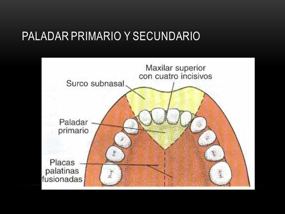 PALADAR PRIMARIO Y SECUNDARIO