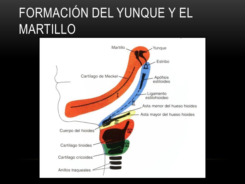 FORMACIÓN DEL YUNQUE Y EL MARTILLO