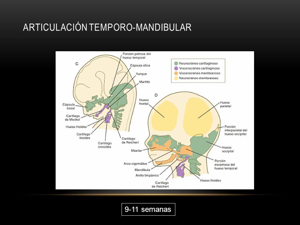 ARTICULACIÓN TEMPORO-MANDIBULAR 9-11 semanas