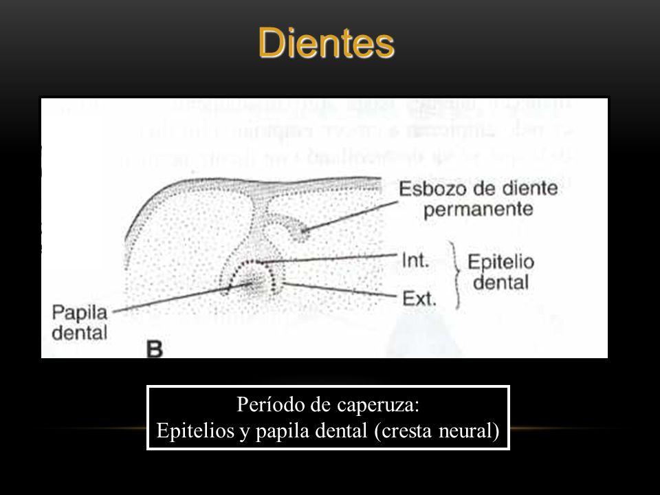 Período de caperuza: Epitelios y papila dental (cresta neural)Dientes