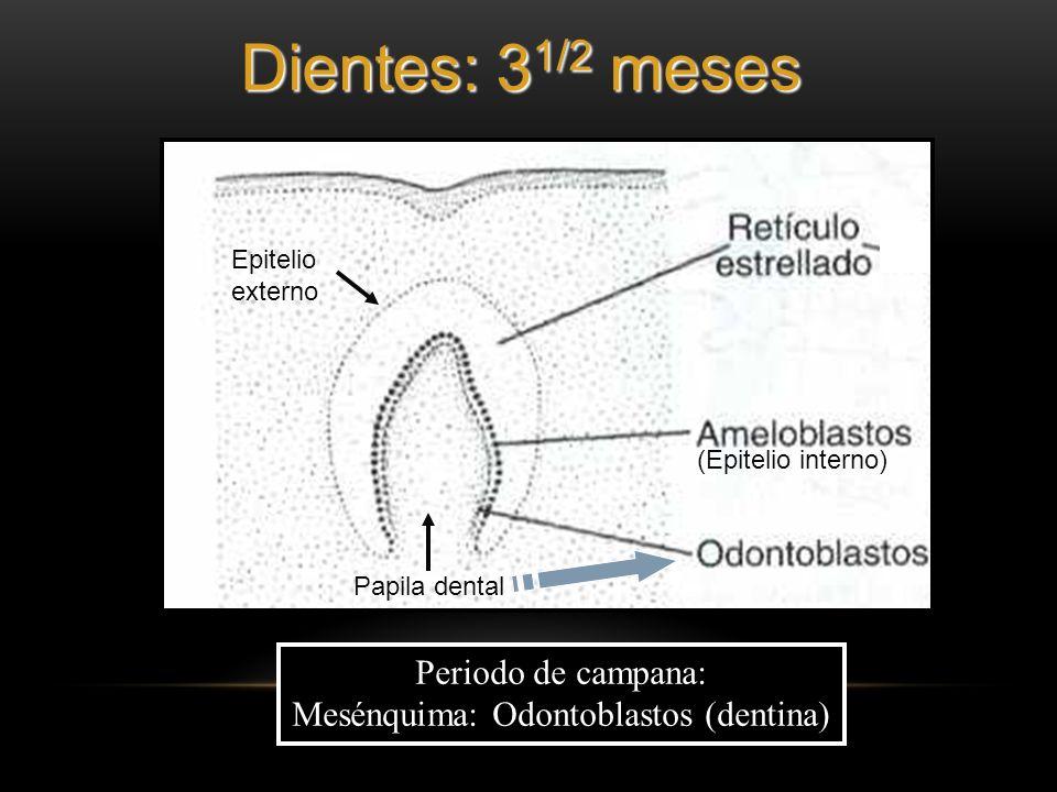 Periodo de campana: Mesénquima: Odontoblastos (dentina) Papila dental Epitelio externo (Epitelio interno) Dientes: 3 1/2 meses