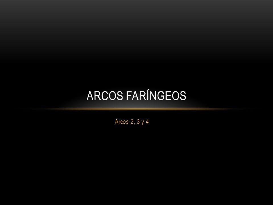 Arcos 2, 3 y 4 ARCOS FARÍNGEOS