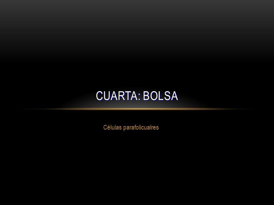 Células parafolicualres CUARTA: BOLSA