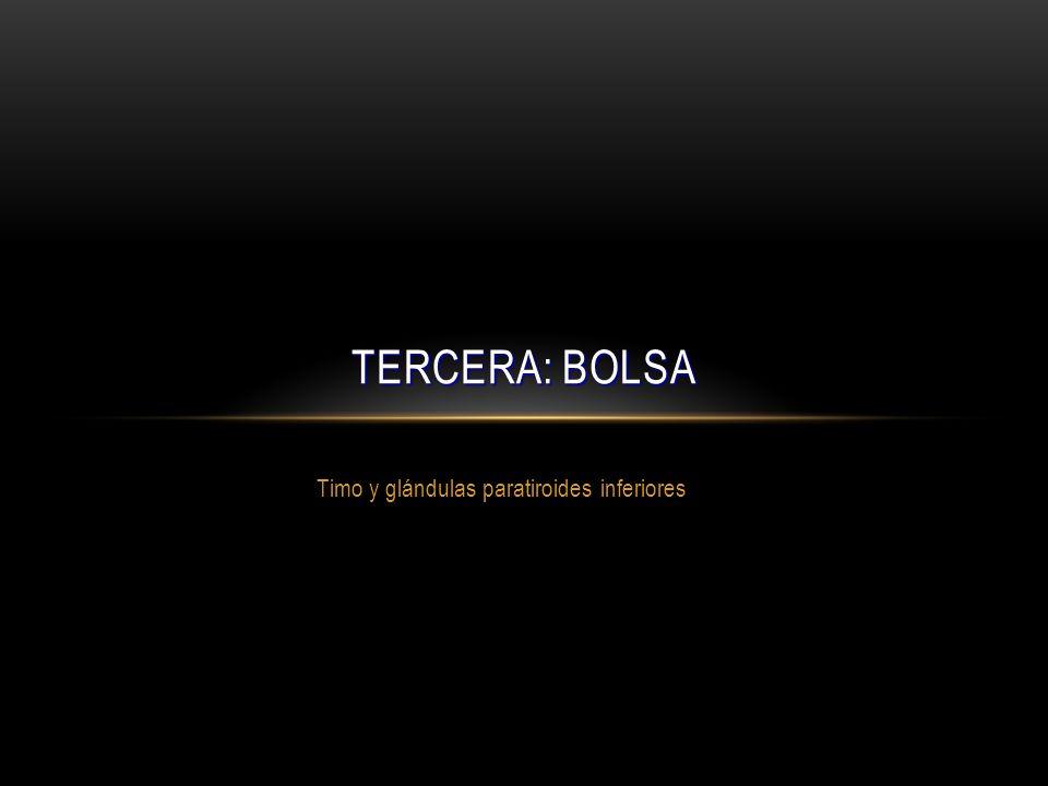 Timo y glándulas paratiroides inferiores TERCERA: BOLSA