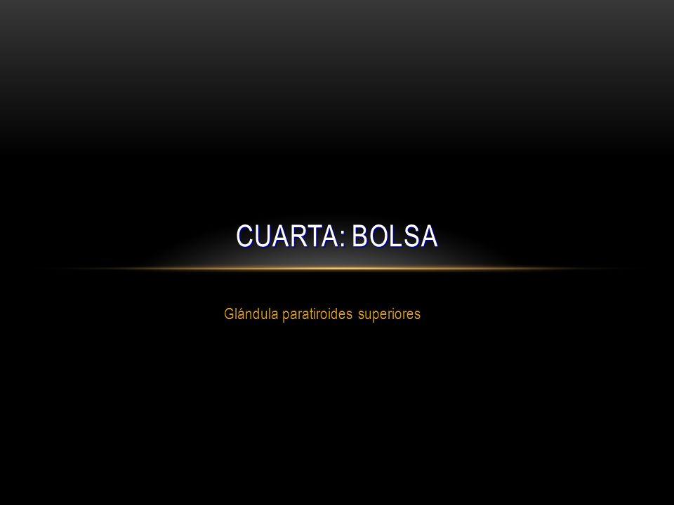 Glándula paratiroides superiores CUARTA: BOLSA